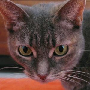 Feline Focus Face