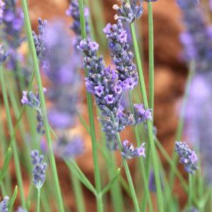 Lavender III