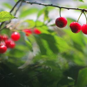 Red Cherry Tree