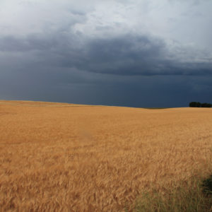 Wheat Field and Stormy Sky