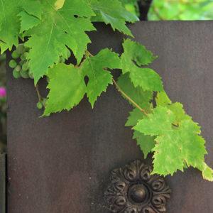 Grape Vine II