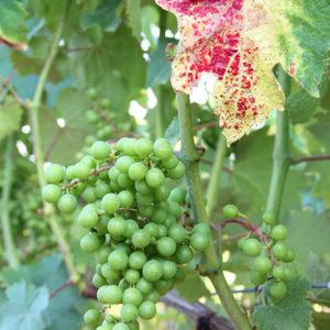 Grape Vine III