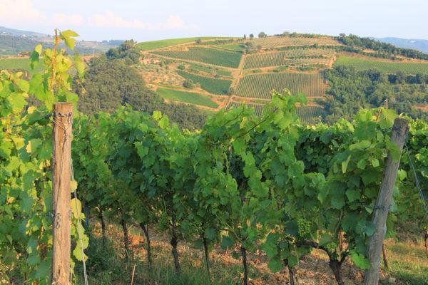 Grape Vine IV