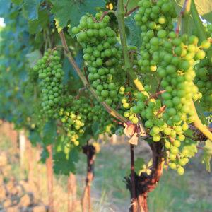Grape Vine V