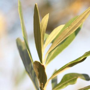 Olive Tree VI