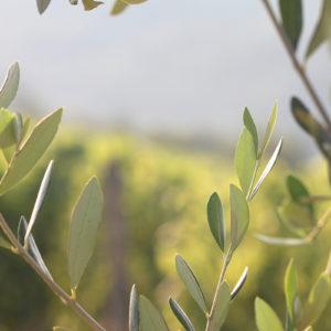 Olive Tree IX