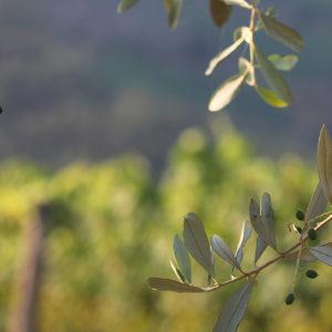 Olive Tree XI