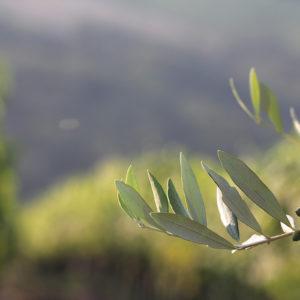 Olive Tree X
